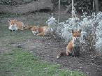 Garden Wildlife and Foxes 2015